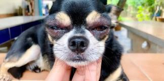 dog swollen eye home treatment