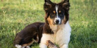 australian shepherd eating habits