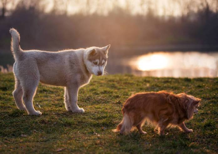 Can a Big Dog Breed With a Small Dog