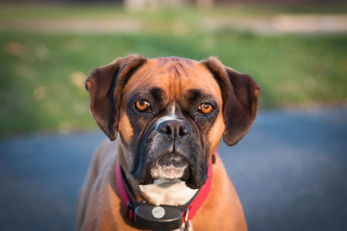 Classic Boxer dog wearing a shock collar
