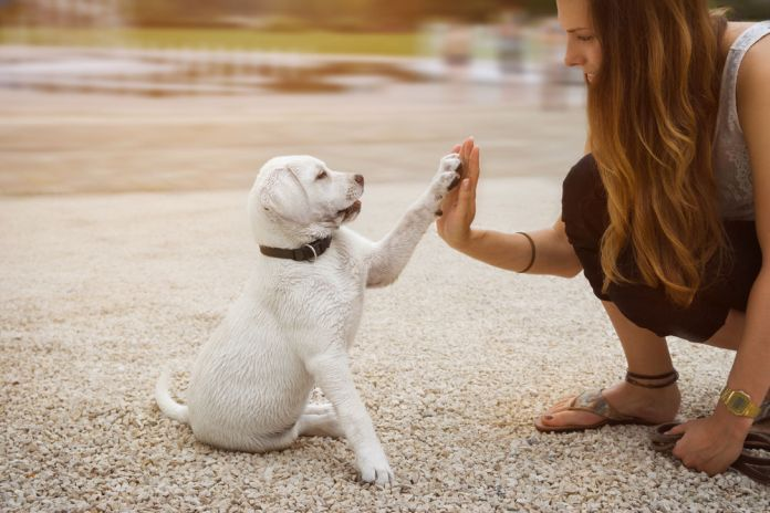 Labrador puppy and young woman