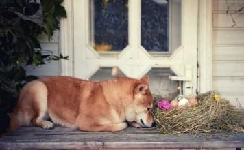 pregnant dog nesting behavior