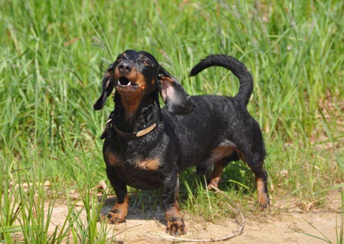 dachshunds bark excessively