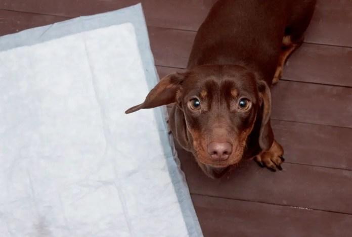 how to discipline a dachshund