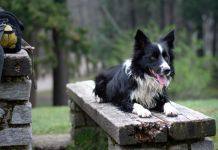 When Do Border Collies Calm Down