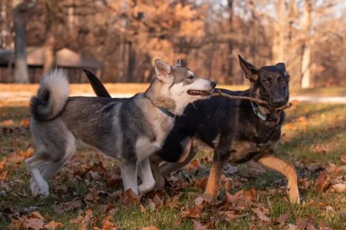 A Siberian Husky and German Shepherd