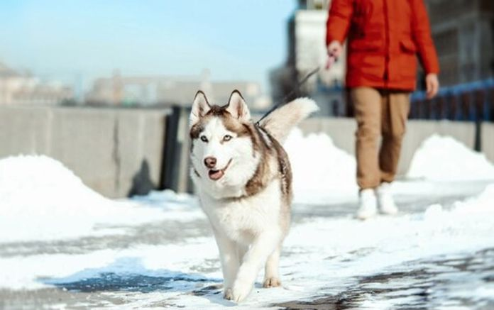 Man and Siberian Husky dog on a walk in modern park