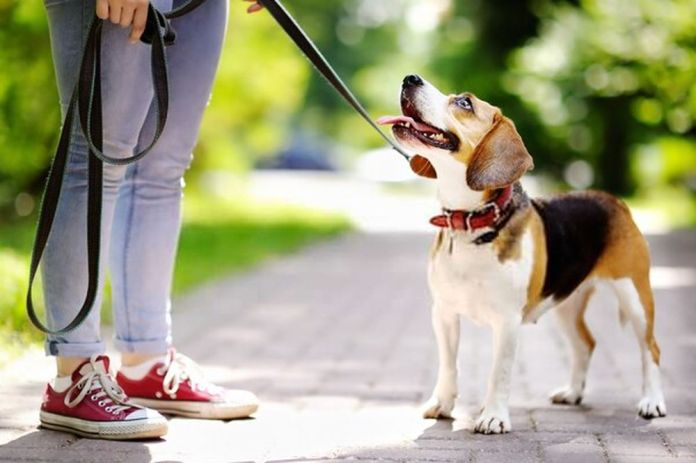 Young woman walking with Beagle dog