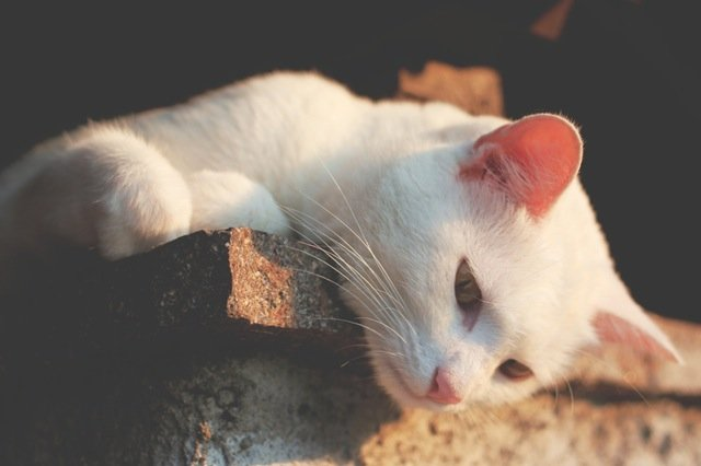 Albino Cats Difference From White Cats