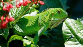 Guia paso a paso de lo que comen las Iguanas Verdes