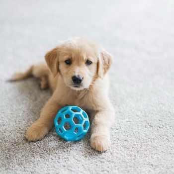 8 Week Old Golden Retriever Puppy Training