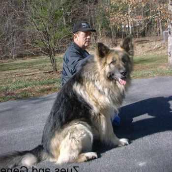 A Big German Shepherd