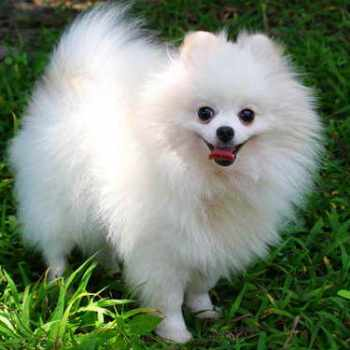 A Picture Of A Pomeranian Dog