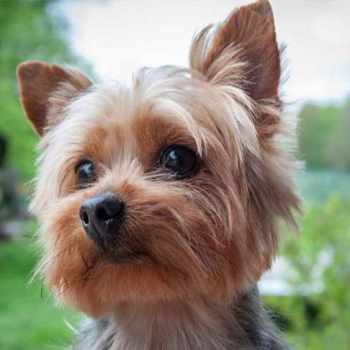 A Yorkie Terrier