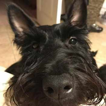 Aberdeen Scottish Terrier Rescue