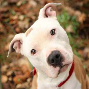 About Pit Bull Dog
