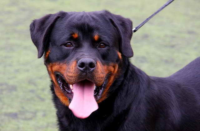 About Rottweiler