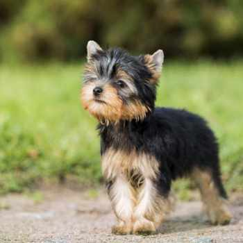 About Yorkshire Terrier