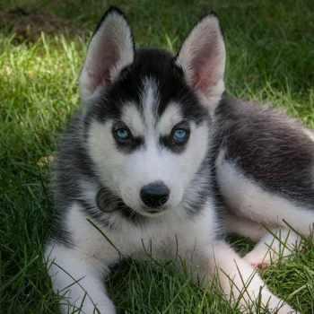 Adopt A Husky Mn