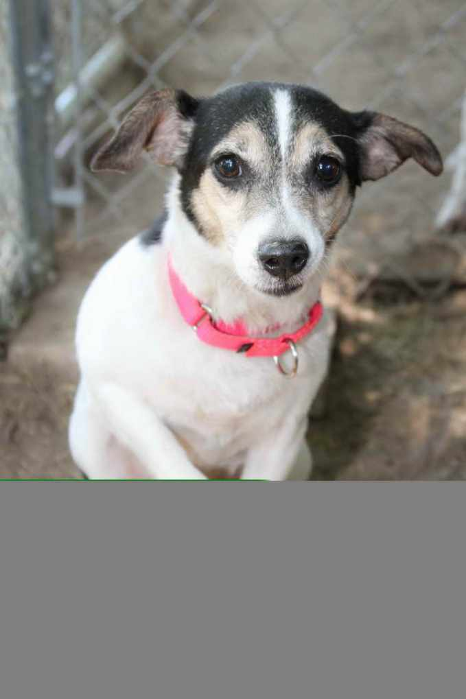 Adopt A Jack Russell