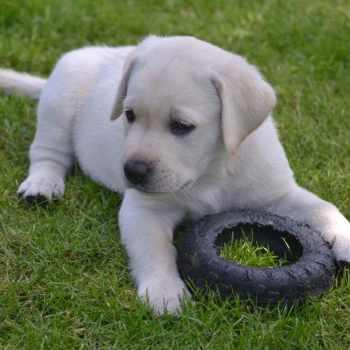Adopt A Labrador Puppy For Free