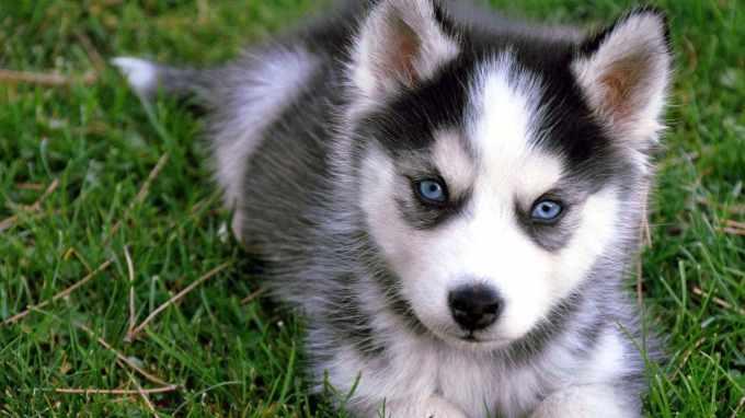 Adopt A Mini Husky