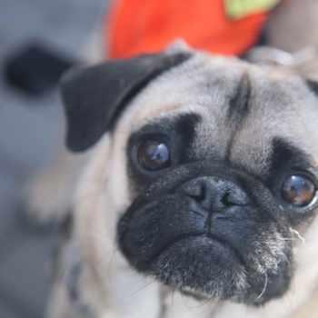 Adopt A Pug Puppy