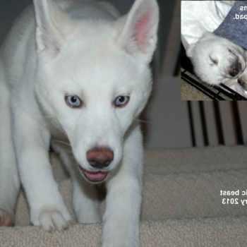 Adopt A Siberian Husky