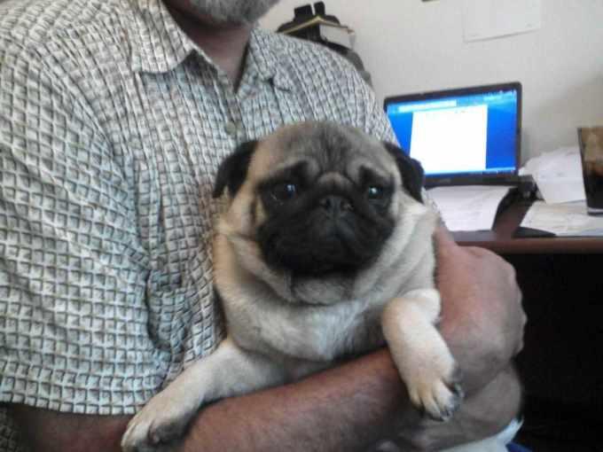 Adopt Black Pug