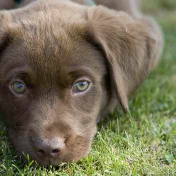 Adopt Chocolate Labrador Puppy
