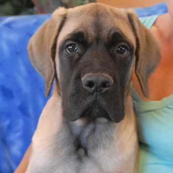 Adopt English Mastiff