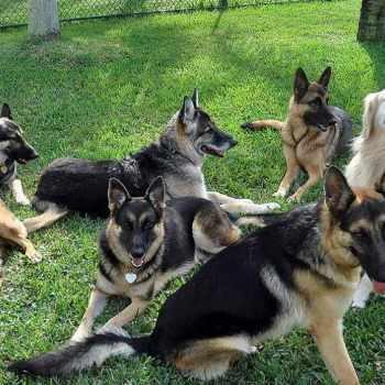 Adopt German Shepherd Florida