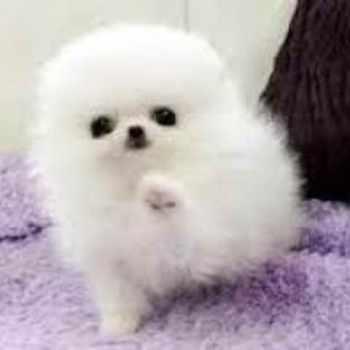 Adopt Pomeranian Puppies