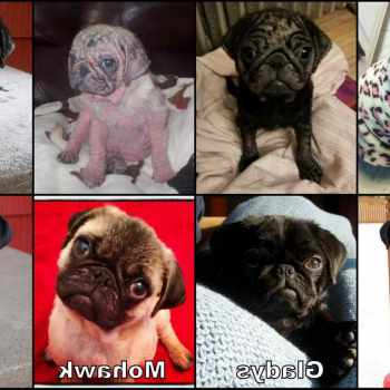 Adopt Pug Puppies
