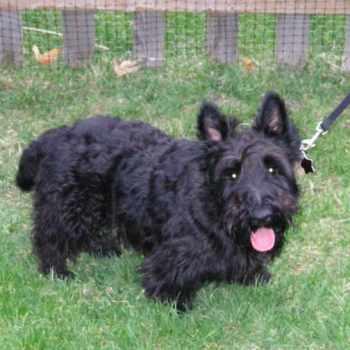 Adopt Scottish Terrier