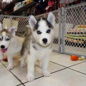 Adopting A Husky Puppy
