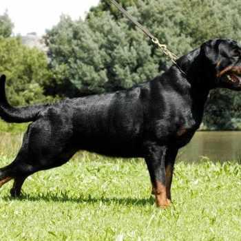 Adrk Rottweiler For Sale