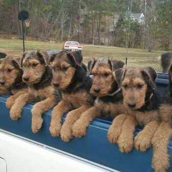 Airedale Terrier Alabama