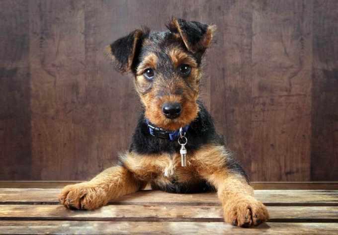 Airedale Terrier Breeder