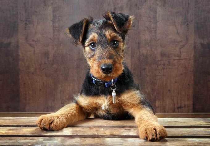 Airedale Terrier Breeders California