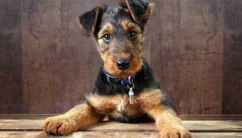 Airedale Terrier For Sale Craigslist | Pets and Dogs