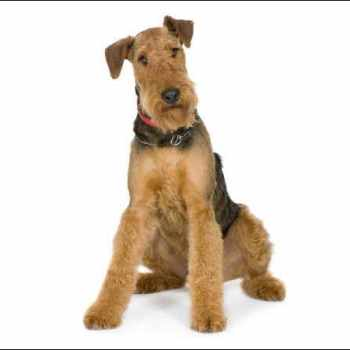 Airedale Terrier Dogs 101