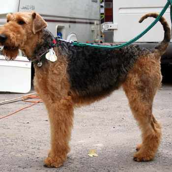 Airedale Terrier Life Span