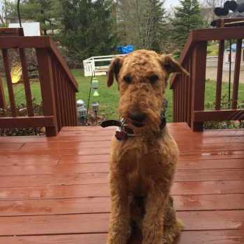 Airedale Terrier Ohio