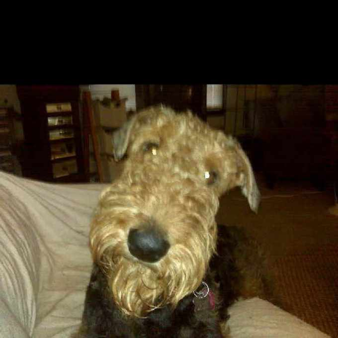 Airedale Terrier Rescue And Adoption