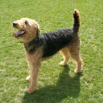 Airedale Terrier Rescue California