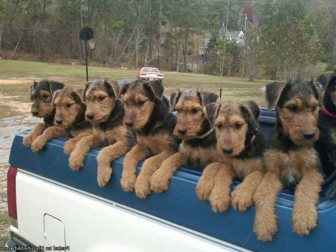 Airedale Terrier Rescue Nc