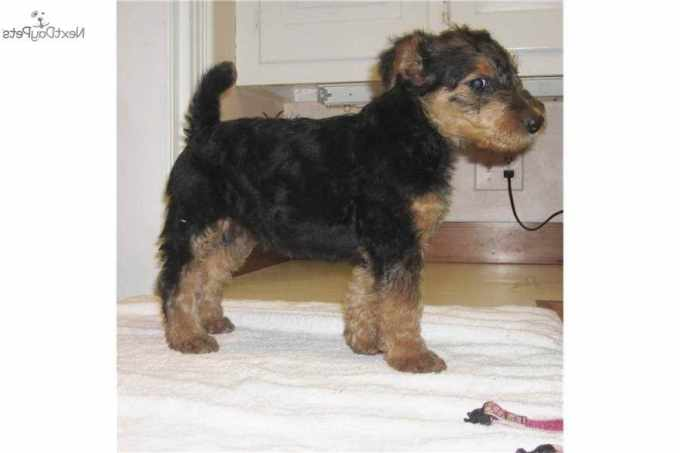 Airedale Terrier Rescue Pa