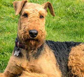 Airedale Terrier Rescue Texas