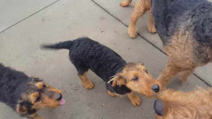 Airedale Terrier Videos
